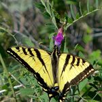 Image of Papilio rutulus
