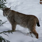 Image of Lynx lynx