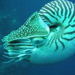 Image of Nautilus belauensis
