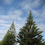 Norfolk island araucaria