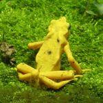 Golden arrow poison frog
